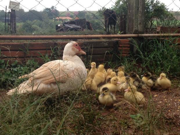 Dos 36 filhotes, 14 já foram vítimas de predadores e morreram (Foto: Adriana Calicchio/RPCTV)