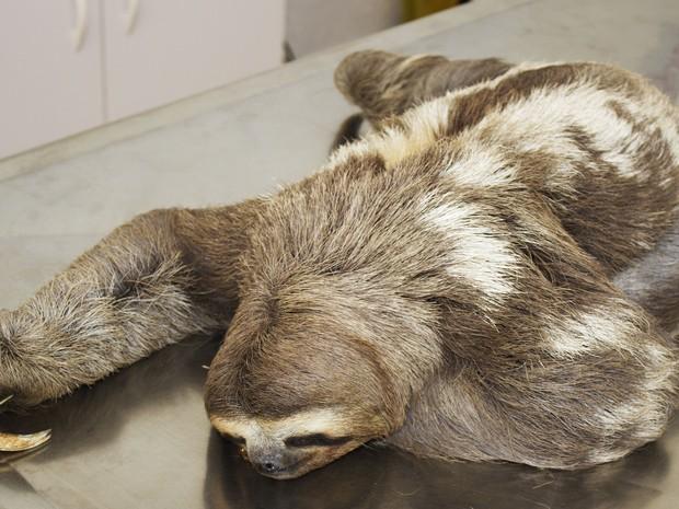 Bicho-preguiça sofreu queimaduras (Foto: Jefferson Leite / Arquivo Pessoal)