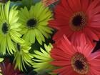 Festival de Flores de Holambra expõe mais de 250 espécies em Goiânia