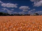 Agricultores da BA colhem recorde de milho em região semi-árida