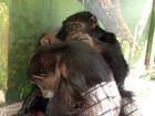 Chimpanzé troca vício em cigarros por vida saudável a dois no Paraná