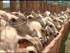 Confinamento de gado de corte cai quase 20% em um ano em GO