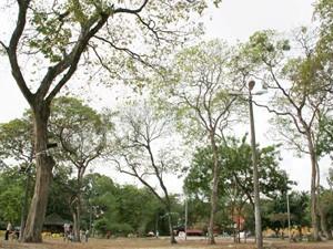 Desde 2010 os ipês do centro de João Pessoa não têm uma florada plena (Foto: Felipe Gesteira/Jornal da Paraíba)