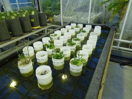 Experimento com plantas do cientista Wieger Wamelink (Foto: Wieger Wamelink/Divulgação)
