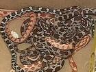 Cobras são encontradas dentro de caixa em agência de Correios no PR