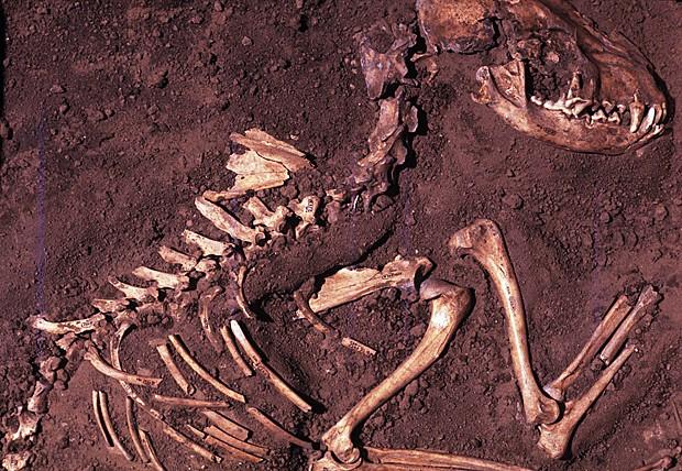 Esqueleto canino de 8.500 anos enterrado no sítio arqueológico Koster, em Illinois, EUA (Foto: Center for American Archaeology/Del Baston/AP)