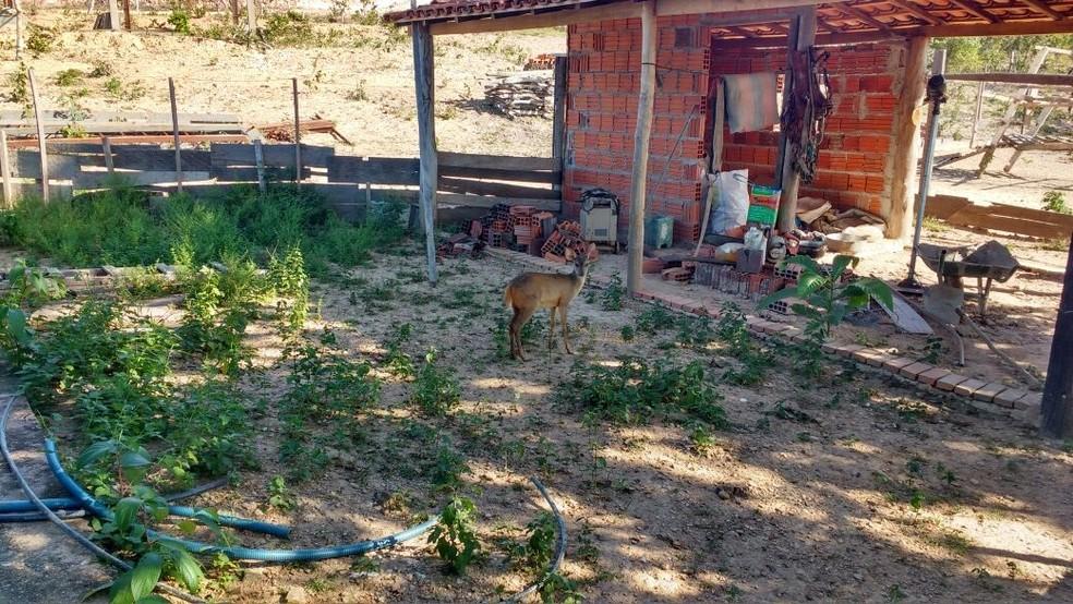 Veado foi encontrado no quintal da chácara, segundo a polícia (Foto: Polícia Civil/Divulgação)