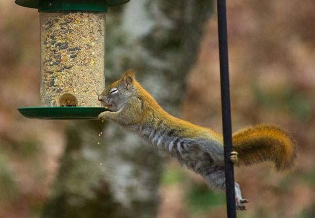 Esquilo escalou cabo para 'roubar' comida de alimentador de pássaros. (Foto: Karen Bleier/AFP)