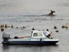 Policiais poloneses usam até barco para capturar alce que entrou em rio