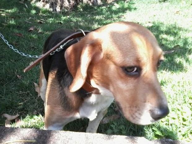 Beagle foi encontrado abandonado em São Roque (Foto: Elisângela Marques/G1)