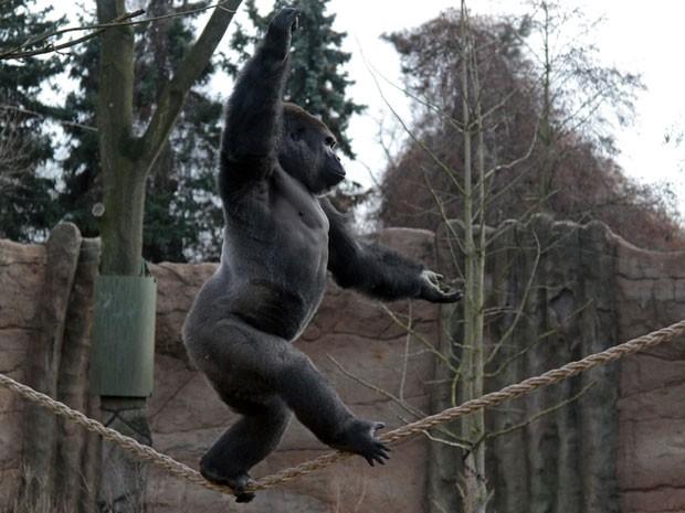 "Gorila Kidogo anda na ""corda bamba"" em zoológico (Foto: Divulgação/Magnus Neuhaus/Zoo Krefeld)"