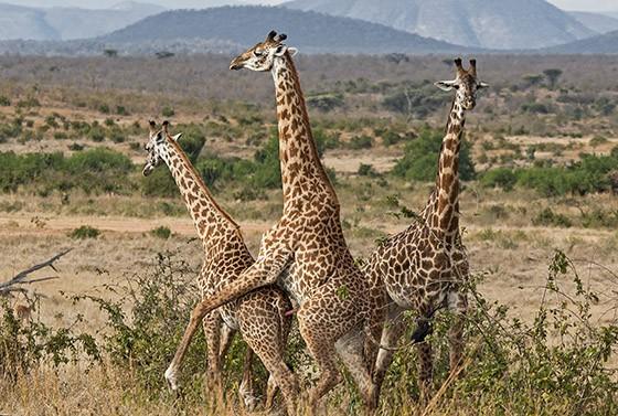 Três girafas machos treinam os movimentos necessários para o acasalamento  (Foto: © Haroldo Castro/ÉPOCA)
