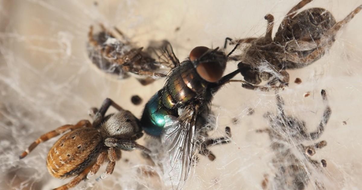 Genoma da aranha ajuda a entender segredos sobre veneno e teias