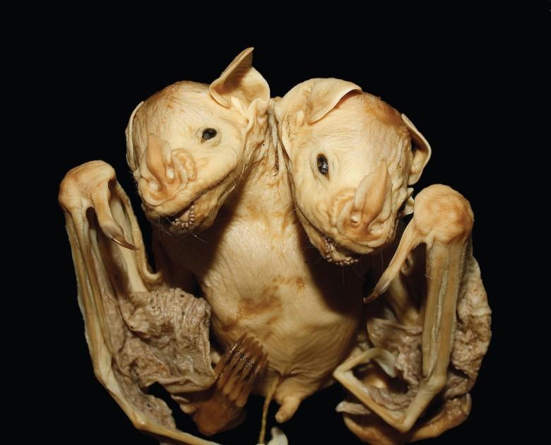 Morcego de duas cabeças (Foto: Marcelo Nogueira/ Laboratório de Ciências Ambientais/ UENF)