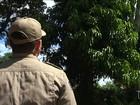 Árvore centenária ameaça cair no centro de Bacabal, MA