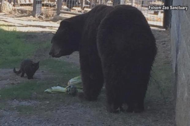 Gato selvagem e urso viram 'melhores amigos' em zoo nos EUA (Foto: Folsom City Zoo Sanctuary/Planeta Bizarro)