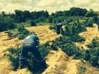 Operação da PF erradica quase 270 mil pés de maconha no Sertão de PE