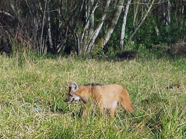 Lobo guará é flagrado no Parque da Cidade de São José dos Campos (Foto: Divulgação/Prefeitura de São José dos Campos)