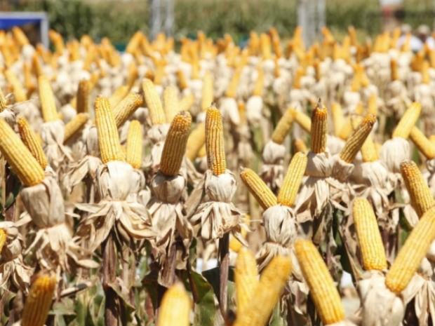 Quase 100% das lavouras de milho do Paraná são de transgênicos, diz governo estadual (Foto: Cocamar/Divulgação)