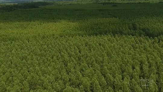 Avanço das plantações de eucalipto ameaça a Amazônia Maranhense