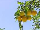 Em SP, tempo seco e temperaturas acima da média afetam a laranja