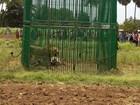 Índia aprisiona leões para descobrir 'culpado' pela morte de 3 pessoas