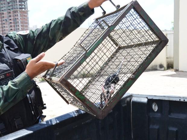 Enquanto se refrescava na piscina, o animal foi surpreendido por uma equipe da Polícia Militar Ambiental que fez o resgate. O timbu foi encaminhado para o Centro de Triagem de Animais Silvestres em Cabedelo (Foto: Walter Paparazzo/G1)