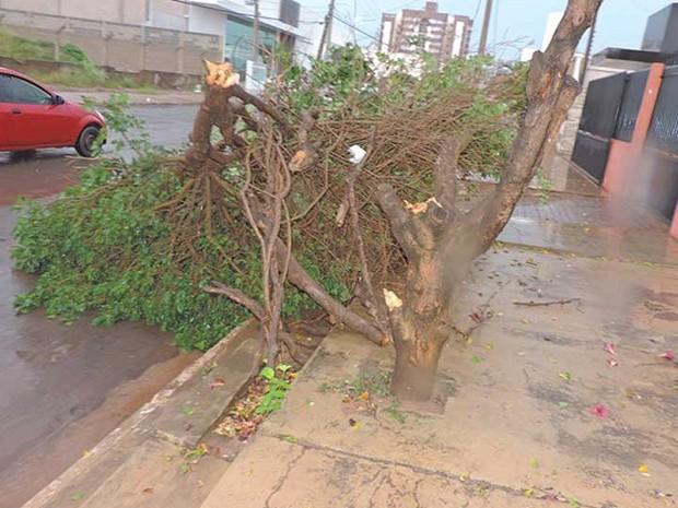 Outra árvore que caiu em Luís Eduardo Magalhães (Foto: Edivaldo Braga/Blogbraga)