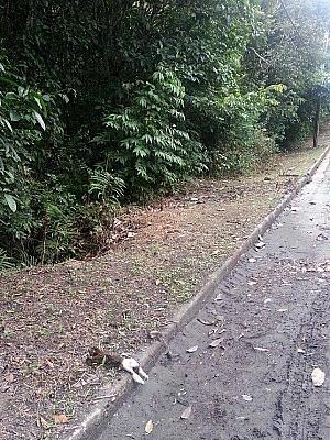 Sauim morreu eletrocutado no fim de março, em Manaus   (Foto: Erika Scholoemp/Divulgação)