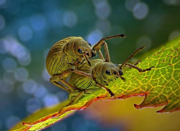 Imagem escolhida como a 4ª melhor no concurso mostra dois besouros da espécie Phyllobius roboretanus (Foto:  Csaba Pintér/ 4º lugar no 2014 Olympus BioScapes Digital Imaging Competition/ www.OlympusBioScapes.com)