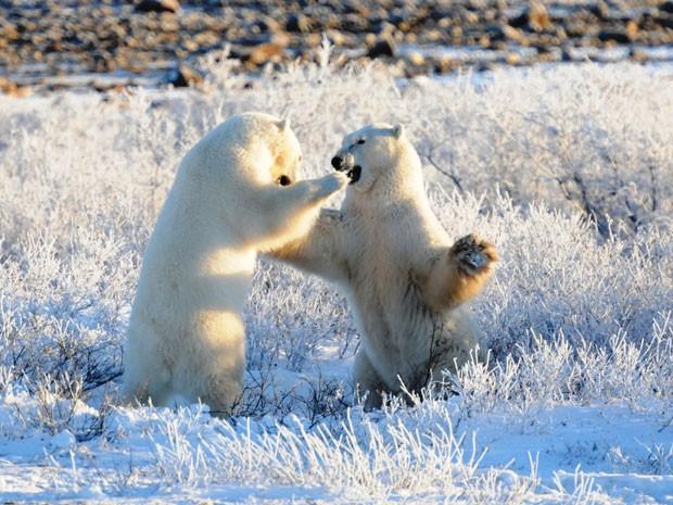 Ursos polares fazem parte do roteiro (Foto: Will Bolsove/Natural World Safaris/Divulgação)