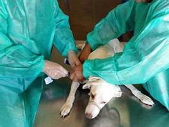 Funcionários amarram cachorro para fazer coleta de sangue (Foto: G1)