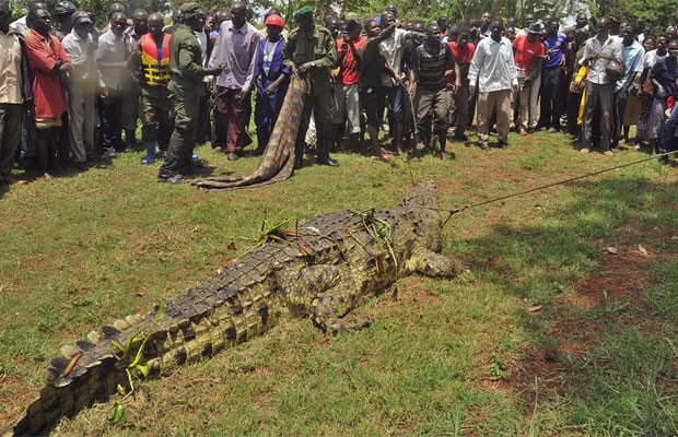 Crocodilo pesa 1 tonelada (Foto: Peter Busomoke/AFP)
