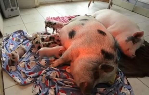 Florence Gruber terá que se desfazer dos cerca de 40 porcos de estimação (Foto: Reprodução)
