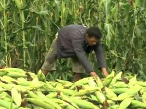 Preço do milho está mais baixo (Foto: Reprodução/ TV Gazeta)