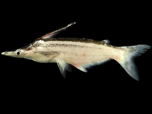 Uma das novas espécies encontradas. Nome cientifico Ageneiosus sp n vittatus (Foto: Bruno Barros/Unir/Divulgação)