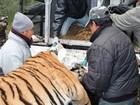 Tigre é sedado após ser visto em resort turístico no Nepal