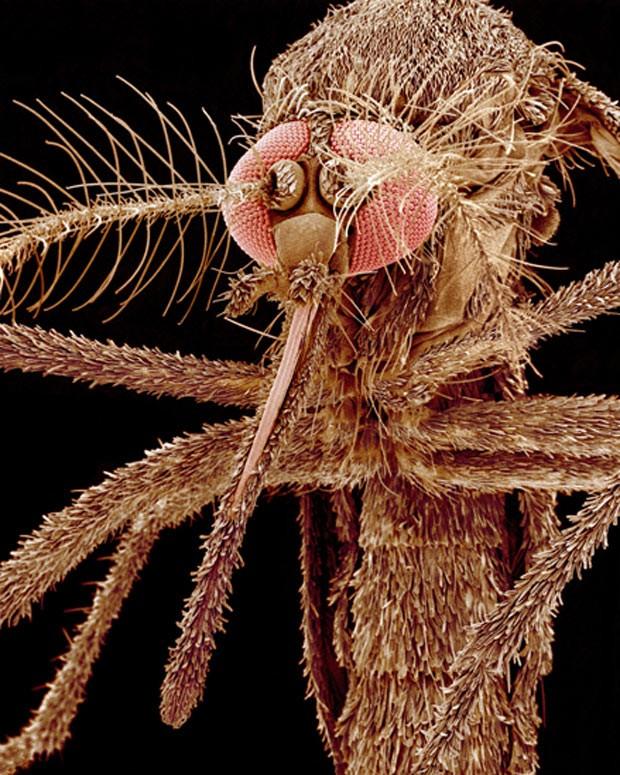 Conhecido como mosquito tigre, o Aedes albopictus é responsável por várias doenças, entre elas dengue, febre amarela e o vírus do oeste do Nilo. Originário das áreas tropicais e subtropicais da Asia, este inseto se espalhou por vários países do mundo (Foto: SPL/Barcroft Media /Sinclair Stammers)