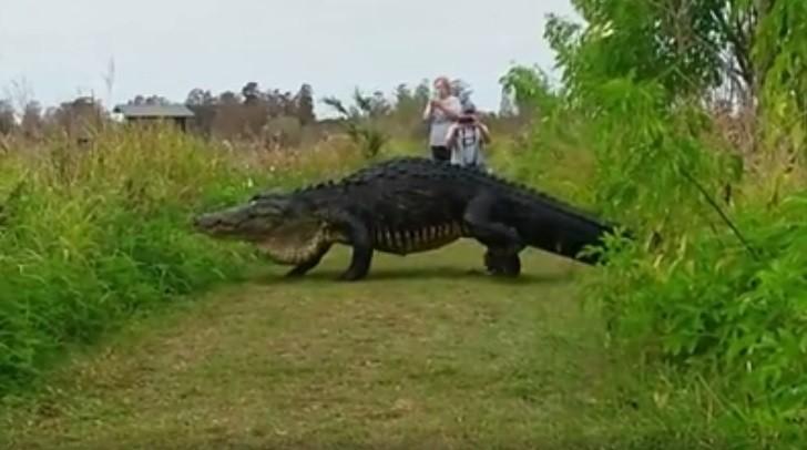 Jacaré gigante espanta em aparição na Flórida
