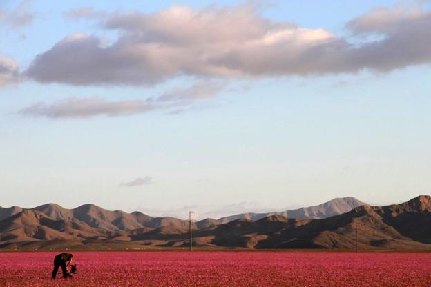 Tapete de flores cobre Deserto do Atacama  (Foto: AFP Photo/Carlos Aguilar)
