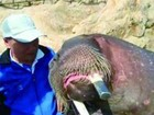 Morsa afoga homem que tirava 'selfies' com ela em zoo na China