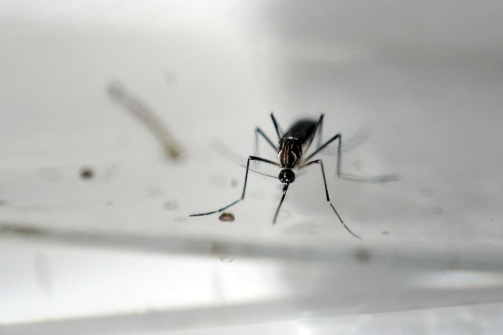Aedes Aegypti (Foto: Marvin Recinos/AFP)