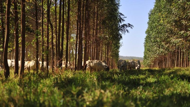 integração-lavoura-pecuaria-floresta-ilpf-boi-pecuaria-eucalipto (Foto: Ernesto de Souza/Ed. Globo)