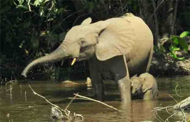 """Elefante africano de floresta atravessa rio com filhote  (Foto: Divulgação/Thomas Breuer/""""PLoS One"""")"""