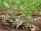 Plantio de soja atinge 98% da área de 8,8 milhões de hectares em MT