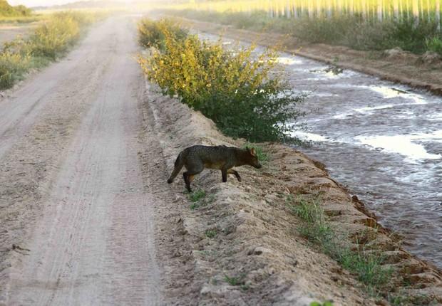 Um lobo atravessa a Estrada Turística, de Cáceres, no Mato Grosso  (Foto: Douglas Trent/Projeto Bichos do Pantanal)