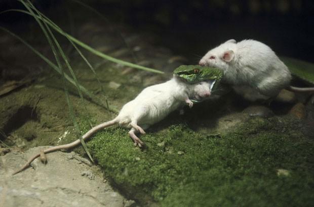 Camundongo tentou impedir cobra de devorar outro camundongo  (Foto: Reuters)