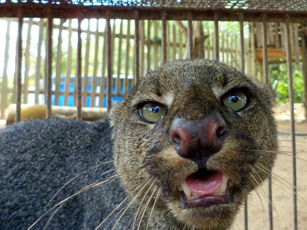 Gato-mourisco é recolhido em propriedade rural em Colatina, Espírito Santo. (Fot Divulgação/ Polícia Militar Ambiental)
