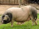 Por que o uso de antibióticos na criação de animais ameaça a saúde humana