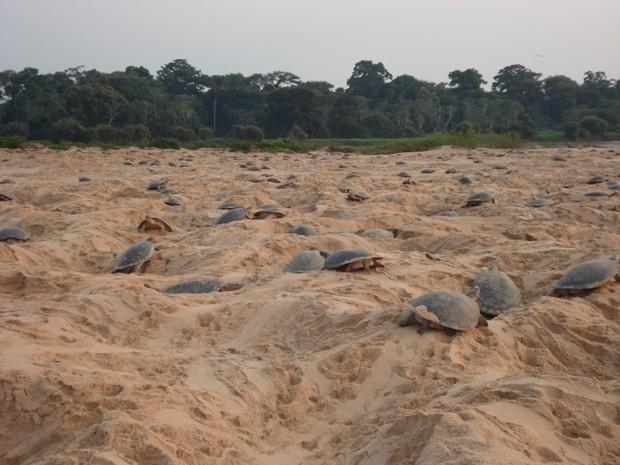 Projeto Quelônios de RO pretende proteger a desova de mais de cinco mil fêmeas em praias do Rio Guaporé (Foto: Jácomo Antönio Mediote/Divulgação Ibama)
